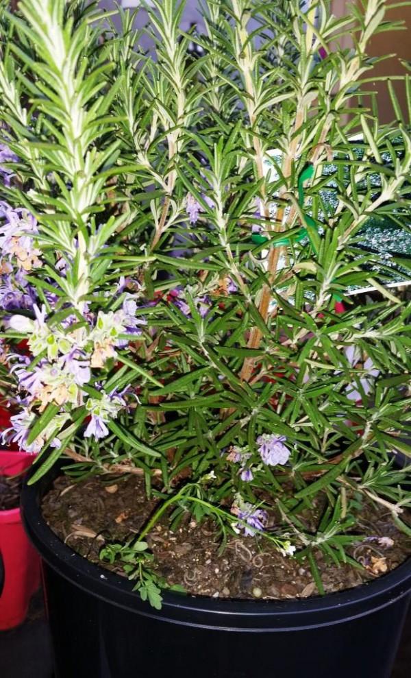 White Chocolate Drop Rosemary